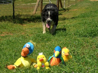 This is my herding instructor's dog, Pete.  He can herd anything and has a special talent for herding ducks.