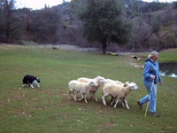 Meg Sheep Herding