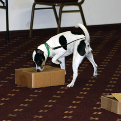Danish/Swedish Farmdog Tabatha Searched for hidden odor in the boxes